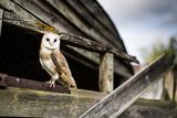 Barn Owl (Tyto Alba)  Wheatley  Oxfordshire  England  United Kingdom  Europe