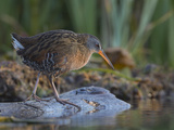 Washington  Adult Virginia Rail on a Marshy Shore on Lake Washington