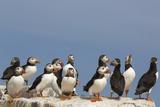 Puffin (Fratercula Arctica)  Farne Islands  Northumberland  England  United Kingdom  Europe