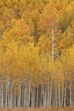 Yellow and Orange Aspen in the Fall  Uncompahgre National Forest  Colorado  USA