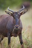 Topi (Tsessebe) (Damaliscus Lunatus) Eating  Kruger National Park  South Africa  Africa