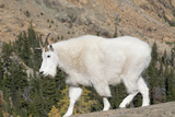 Washington  Alpine Lakes Wilderness  Mountain Goat
