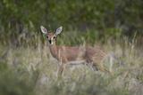 Steenbok (Raphicerus Campestris) Buck  Kruger National Park  South Africa  Africa