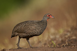 Swainson's Francolin (Swainson's Spurfowl) (Pternistes Swainsonii)  Kruger National Park  Africa