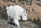 Washington  Alpine Lakes Wilderness  Mountain Goat  Nanny