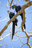 Hyacinth Macaws (Anodorhynchus Hyacinthinus)  Mato Grosso Do Sul  Brazil  South America