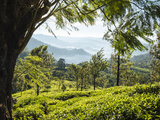 Tea Plantations Near Munnar  Kerala  India  South Asia