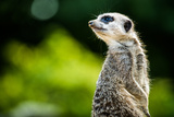 Meerkat (Suricata Suricatta)  in Captivity  United Kingdom  Europe