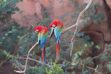 Red-And-Green Macaws (Ara Chloropterus) Perched on a Branch in Buraco Das Araras  Brazil
