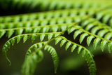 Fern  Indonesia  Southeast Asia