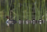 Common Goldeneye (Bucephala Clangula) Female Swimming with Four Chicks  British Columbia  Canada