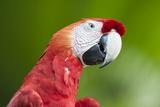 Scarlet Macaw (Ara Macao)  Amazon  Brazil  South America