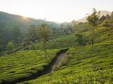 Tea Plantations Near Munnar  Kerala  India  South Asia