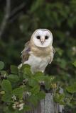 Barn Owl (Tyto Alba)  Captive  Cumbria  England  United Kingdom  Europe