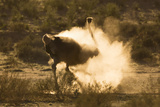 Ostrich (Struthio Camelus) Dustbathing  Kgalagadi Transfrontier Park  South Africa  Africa
