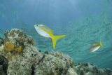 Yellowtail Snapper  Half Moon Caye  Lighthouse Reef  Atoll  Belize