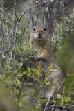 Uinta Ground Squirrel (Urocitellus Armatus)  Yellowstone National Park  Wyoming  USA