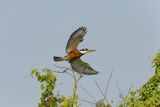 Ringed Kingfisher (Ceryle Torquata) in Flight  Pantanal  Mato Grosso  Brazil  South America