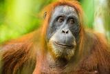 Female Orangutan Sumatra (Pongo Abelii)  Indonesia  Southeast Asia