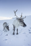 Reindeer (Rangifer Tarandus) Female with Young  Cairngorms National Park  Scotland  United Kingdom