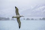 An Adult Wandering Albatross (Diomedea Exulans) in Flight Near Prion Island  Polar Regions