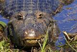 A Pantanal (Yacare) Caiman (Caiman Yacare)  Mato Grosso Do Sul  Brazil  South America