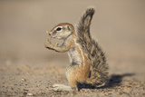 Young Ground Squirrel (Xerus Inauris)  Kgalagadi Transfrontier Park  Northern Cape  South Africa