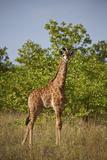 Juvenile Cape Giraffe (Giraffa Camelopardalis Giraffa)  Kruger National Park  South Africa  Africa
