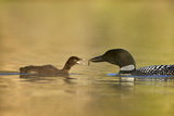 Common Loon (Gavia Immer) Adult Feeding a Chick  British Columbia  Canada