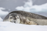 Adult Leopard Seal (Hydrurga Leptonyx)  Polar Regions