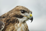 Red Tailed Hawk  an American Raptor  Bird of Prey  United Kingdom  Europe