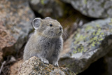 American Pika (Ochotona Princeps)  Yellowstone National Park  Wyoming  United States of America