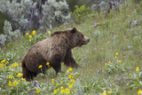 Grizzly Bear (Ursus Arctos Horribilis)  Yellowstone National Park  Wyoming  USA