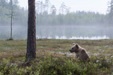 European Brown Bear (Ursus Arctos)  Kuhmo  Finland  Scandinavia  Europe