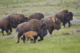 Bison (Bison Bison) Cow and Calf Running in the Rain  Yellowstone National Park  Wyoming  USA