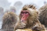 Japanese Macaque (Snow Monkey) (Macata Fuscata)  Jigokudani Yaen-Koen  Nagano Prefecture  Japan