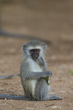 Vervet Monkey (Chlorocebus Aethiops)  Juvenile  Kruger National Park  South Africa  Africa