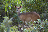 Bushbuck (Imbabala) (Tragelaphus Sylvaticus) Female  Kruger National Park  South Africa  Africa