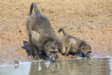 Chacma Baboons (Papio Cynocephalus) at Waterhole  Mkhuze Game Reserve  Kwazulu-Natal  South Africa