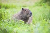 Capybara (Hydrochoerus Hydrochaeris)  a Marshland Area in Corrientes Province  Argentina