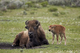 Bison (Bison Bison) Cow and Calf  Yellowstone National Park  Wyoming  United States of America