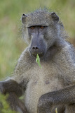 Chacma Baboon (Papio Ursinus) Eating  Kruger National Park  South Africa  Africa