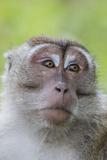 Long-Tailed Macaque (Macaca Fascicularis)  Bako National Park  Sarawak  Borneo  Malaysia