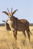 Roan Antelope (Hippotragus Equinus)  Mokala National Park  South Africa  Africa
