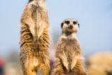 The Meerkat (Suricate) (Suricata Suricatta)  United Kingdom  Europe