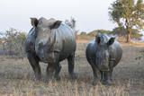 White Rhino (Ceratotherium Simum) with Calf  Hluhluwe-Imfolozi Game Reserve  Kwazulu-Natal  Africa