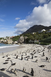 African Penguins (Spheniscus Demersus) on Foxy Beach  Simon's Town  Cape Town