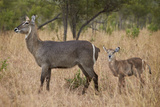 Common Waterbuck (Kobus Ellipsiprymnus Ellipsiprymnus)  Kruger National Park  Africa