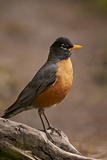 American Robin (Turdus Migratorius)  Yellowstone National Park  Wyoming  United States of America