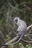 Vervet Monkey (Chlorocebus Aethiops)  Kruger National Park  South Africa  Africa